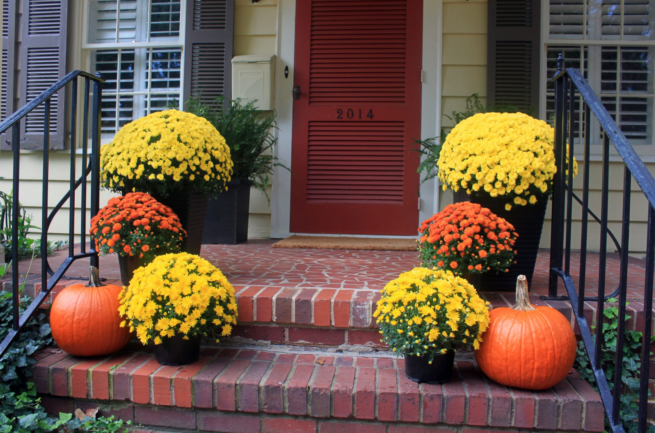 Mums For Fall Decorating