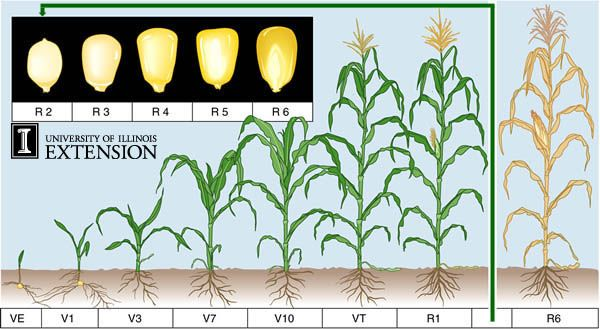Growing Corn In Backyard
